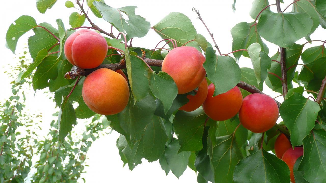 15 Abricots