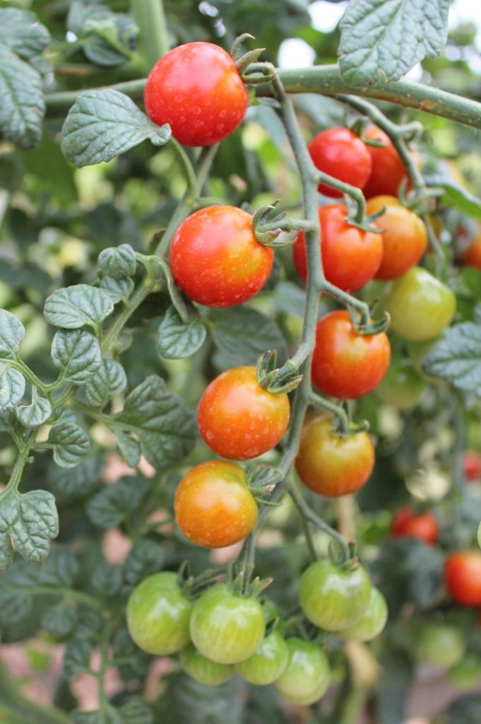 23 Tomates