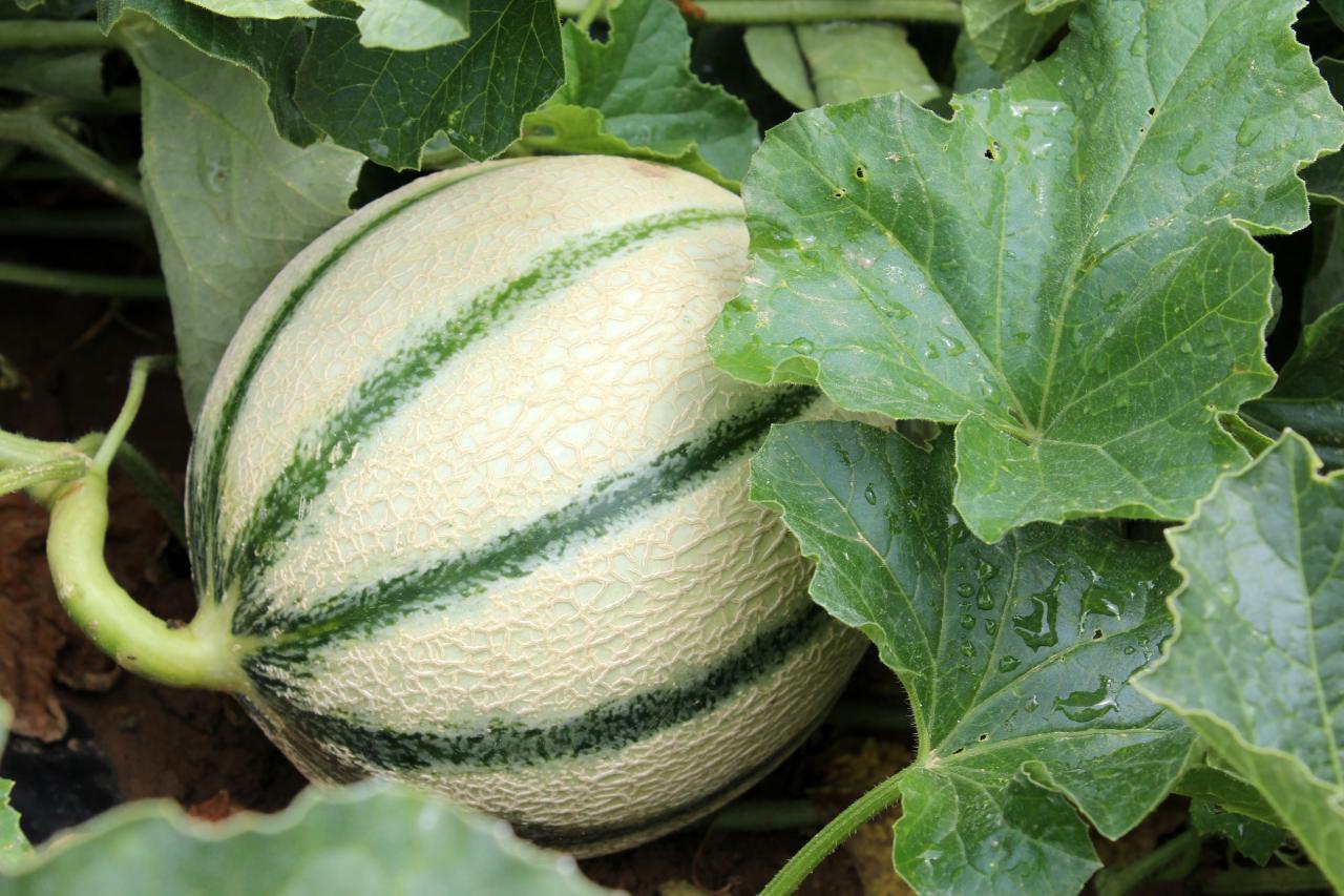 3ème place 25 Melon