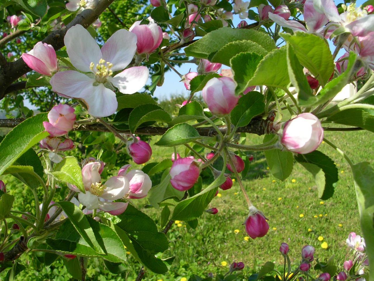 39 Pommier en fleur